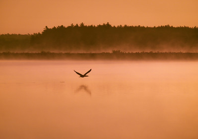 A foggy sunrise Little Quitticus Pond Lakeville, Ma  This canadian goose had just taken flight from off the water. He didn't go very far until he landed again. I love the noise they make as their wing tips slap the water at take off.