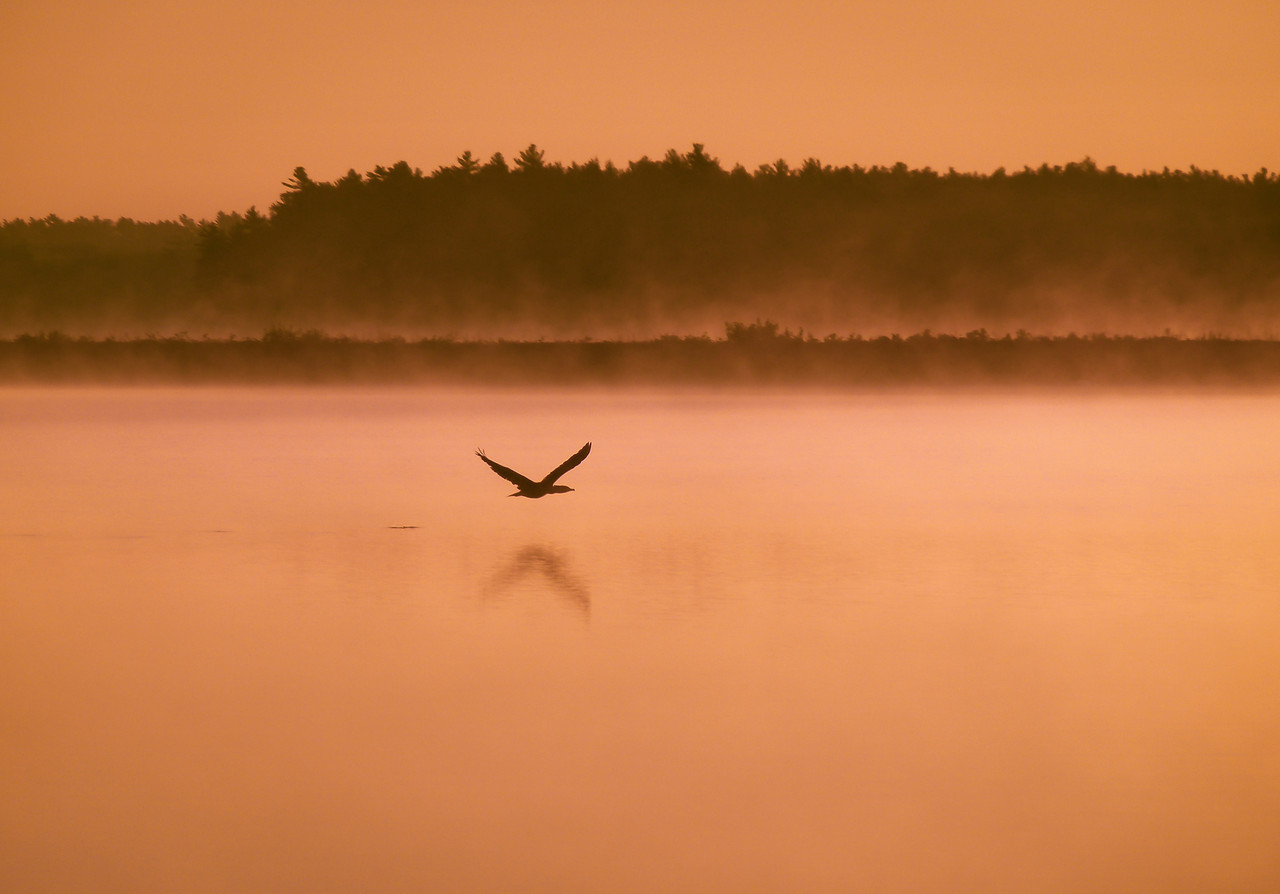 A foggy sunrise<br /> Little Quitticus Pond<br /> Lakeville, Ma<br /> <br /> This canadian goose had just taken flight from off the water. He didn't go very far until he landed again. I love the noise they make as their wing tips slap the water at take off.