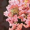 Bee on Crepe Myrtle