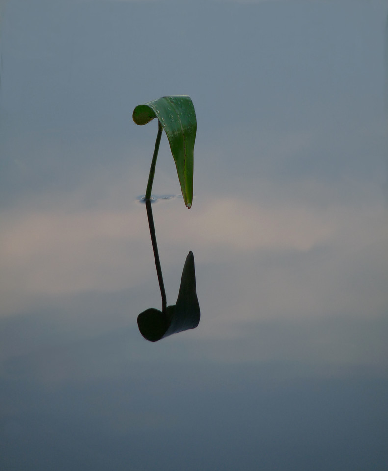A  lone pond weed at sunrise.