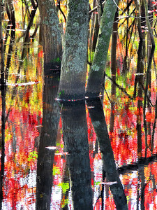 Montgomery Street swamp, adjacent to Elder's Pond. I like how the trees grow here in three feet of water. In the morning, the foliage is glowing from the back lighting. Wish me luck today at my first ever Art Festival. I've been working like mad printing, mat cutting and framing for the past month, in the off chance that someone might actually buy something! I'm so disappointed that it's going to rain here in southestern Massachusetts today, and I mean pour. It's an outdoor festival, although, I am under a big tent. Hopefully, I'll have a booth right in the middle!