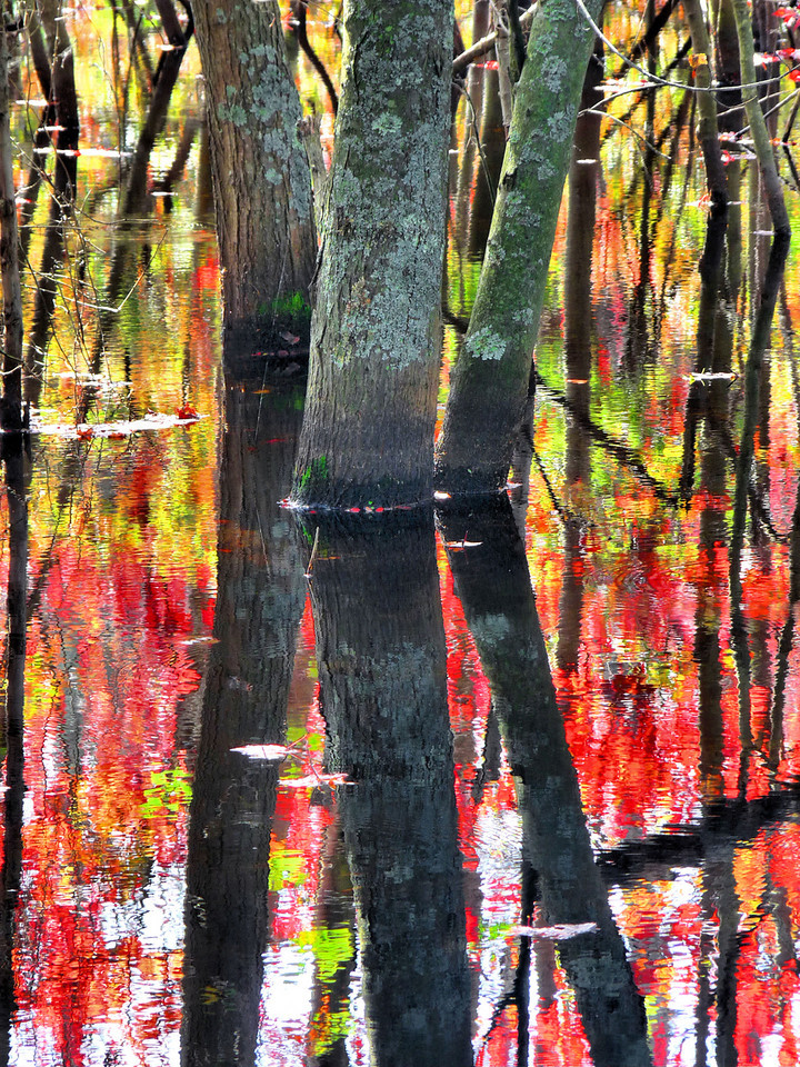 Montgomery Street swamp, adjacent to Elder's Pond. I like how the trees grow here in three feet of water. In the morning, the foliage is glowing from the back lighting.<br /> Wish me luck today at my first ever Art Festival. I've been working like mad printing, mat cutting and framing for the past month, in the off chance that someone might actually buy something! I'm so disappointed that it's going to rain here in southestern Massachusetts today, and I mean pour. It's an outdoor festival, although, I am under a big tent. Hopefully, I'll have a booth right in the middle!