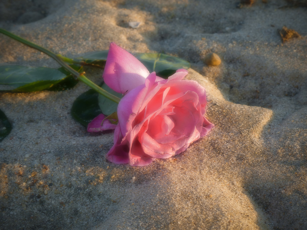 I came across this discarded rose while I walking through the dunes. It fits my mood today.