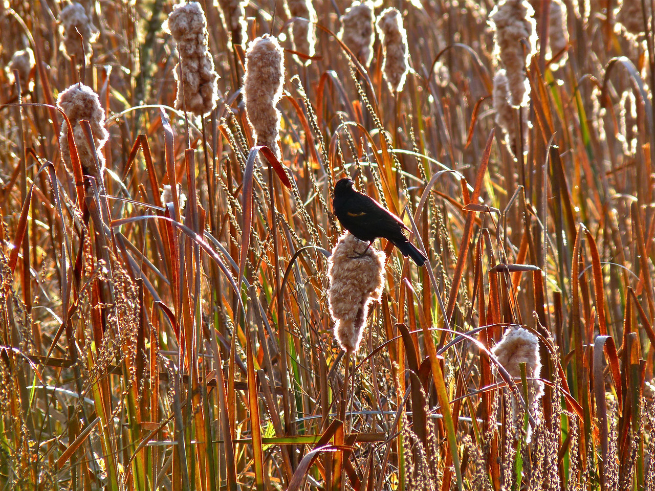 Redwing Blackbird taking a rest on a Crooked Lane cat nine tail.