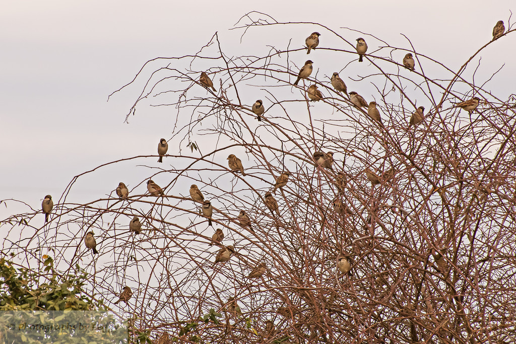 Birds on Lady Banks Rose<br /> <br /> Every morning and afternoon the little birds gather, while the doves are high in trees along with cardinals who flit in and out.  They know food will be waiting.  Cold here this morning, light snow.