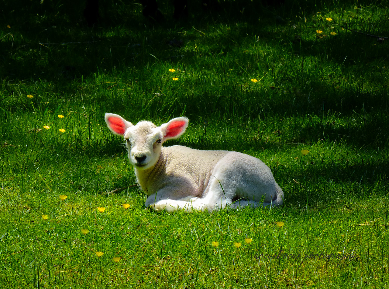 Sheepdog Junction<br /> Middleboro, Ma<br /> <br /> It was shearing day at Sheepdog Junction and this little 5 day old lamb was motherless....All alone in the pasture until mom was done being shorn. The lamb cried incessantly in her absence. It would wander around the pasture and just lay down to sleep for about 3 minutes and then struggle with its new legs to get up again. Then it would baa it's little head off and then lay down again. This lamb was separated off from the rest of sheep and lambs because it's so young and could've easily been injured in the chaotic holding pen.<br />  I've been photographing the goings-on here on this farm for a month or so now. Photographically speaking, I haven't captured anything monumental but, journalistically I've got some interesting stuff. The purpose of the sheep is so that the sheep herding dogs have some sheep to chase. The owner teaches handlers and their dogs to herd by using commands only, either whistle or voice. It's amazing to watch.