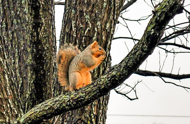 Squirrel on a Pecan Tree Limb<br /> <br /> Cold in central Texas; the squirrel needs all the fuel he can get.