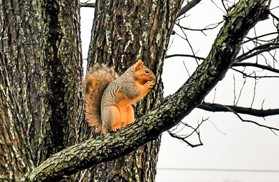 Squirrel on a Pecan Tree Limb  Cold in central Texas; the squirrel needs all the fuel he can get.