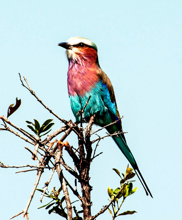 Lilac breasted roller.  This would have been an L selection if I could have done more than one.  I think these are the most beautiful birds.