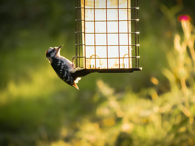 I have a few downy wood peckers that frequent my feeders.  I like their behavior in that they stay for a while. One of my favorite things is getting home from work and sitting out back watching Mother Nature's free show -from the best seat in the house!