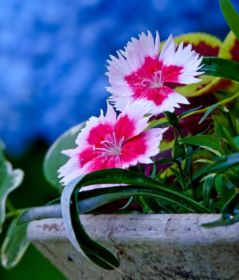 I loved the deep morning shade of these dianthus flowers with the blue hydrangea in the background.