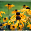 July 29 - Black Eye Susan