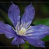 May 31 - Wet Clematis Bloom