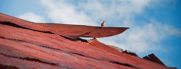 Aug 27 - Bird on a red tin roof<br /> <br /> I found this little guy singing his little head off one morning.  I loved the red tin and the piece that he is perched on.<br /> <br /> Thanks for your comments on my red tail hawk yesterday.