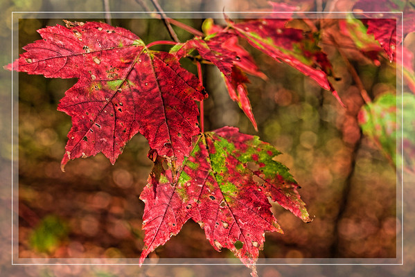Oct 31 - Red Maple Leaves