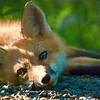"June 24 - Relaxing<br /> <br /> The fox kits are getting used to seeing me!  This one didn't seem to excited.  It was as if he was saying ""here she comes again with that camera""!  Getting this shot was fun because he let me capture him laying down and didn't seem to care that I was there.  He was laying his head on our gravel driveway with the rest of him in the edge of the field."