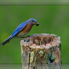 June 3 - Eastern Blue Bird <br /> <br /> I caught this blue bird feeding it's little ones nested inside a hollowed out fence post!