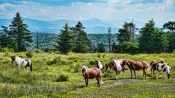 July 16 - The Wild Ponies of Grayson Highlands, Virginia<br /> <br /> These are some of the wild ponies in the Virginia mountains.  We rode the horse trails this past weekend and were fortunate to come across them.<br /> <br /> Thanks for all your comments on my Durbin Rocket image yesterday.  They are all so much appreciated!
