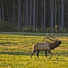 Oct 1 - Elk Bugling<br /> <br /> This image was taken in the Pennsylvania Elk country region of Benezette.  The bull elk were bugling because the rut has started.  I think it is one of the most beautiful sounds I have heard (with the loon coming in as a close second)!