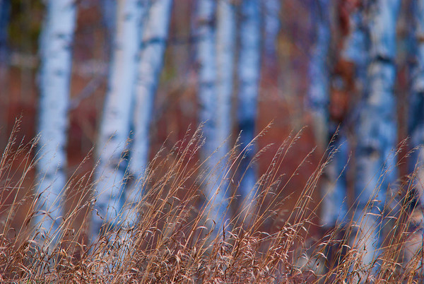 Dec 9 - Dry Grass with Aspen in the background