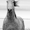 Dec 3 - Horse in Montana<br /> <br /> I posted a color version of this picture awhile back and decided to crop it and make it into a black and white.