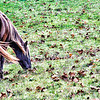 Nov 21 -  Grazing around the fallen leaves<br /> <br /> This is a color image of my horse, Tuck.  I posted a black and white image yesterday.  He is a chocolate brown color with a flaxen main and tail which is common for his  breed which is the Rocky Mountain breed.  We've trail ridden many miles together!