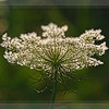 Aug 9 - Queen Ann's Lace