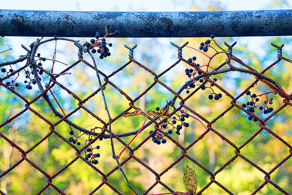 Nov 22 - The Fence and Wild Grapes