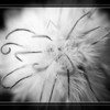 Sept 25 - Clematis seed pod in black and white<br /> <br /> Flower blooms are pretty but so are some of the leftovers!