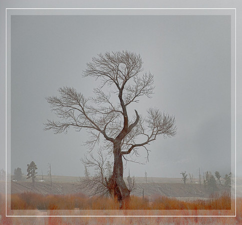 May 21 - Lone Tree in Fog<br /> <br /> Another image from my visit to Yellowstone on a bad weather day!  At least the willow bushes added some color!<br /> <br /> Thanks for your comments on the truck seat springs photo.  They are much appreciated.