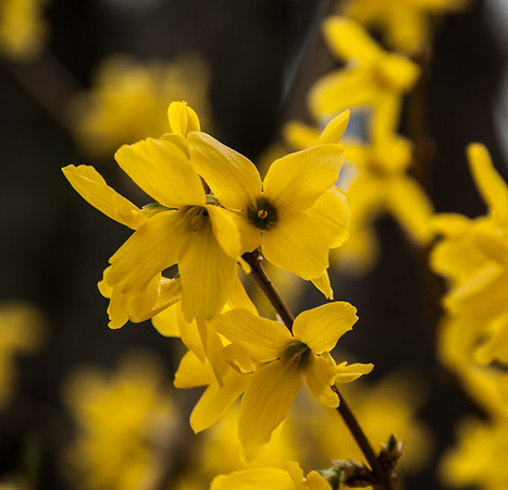 April 12 - Forsythia in bloom! <br /> <br /> I finally have some flower pictures to post - woooo hoooo