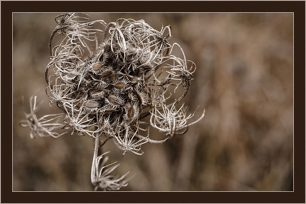 Jan 22 - Queen Anne's Seeds<br /> <br /> I was able to capture this dried up Queen Anne's Lace  before all it's seeds were gone