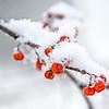 Jan 21 - Cold Bittersweet Berries