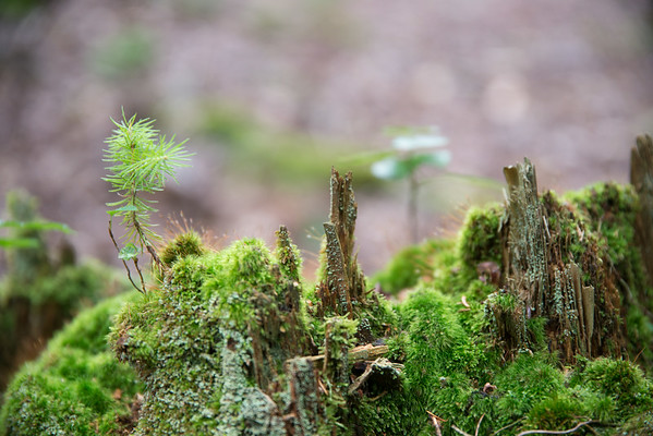 July 28 - New Growth in the Forest<br /> <br /> I saw this new tree sprouting up through the remains of an old tree trunk - the circle of life.  The new one is a Red Spruce