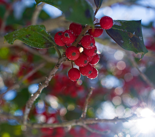 Jan 10 - Frosty Holly Berries