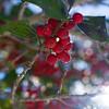 Jan 10 - Frosty Holly Berries