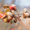 Jan 9 - Withered Bittersweet<br /> <br />  This vine is so pretty when the berries are there even if they are dried up.  Thanks for your comments yesterday on my image of them with the snow.<br /> <br /> Late posting for today due to internet issues.