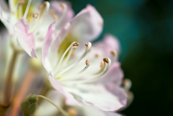 July 21 - Rhododendron Bloom