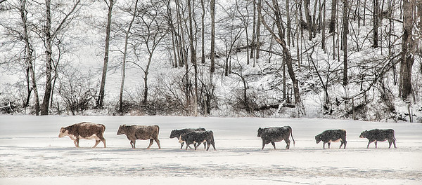 Feb 5 - Follow the Leader<br /> <br /> I saw these guys while driving by the field.  They were heading out to the place in the field where the farmer was dropping the hay bales at feeding time
