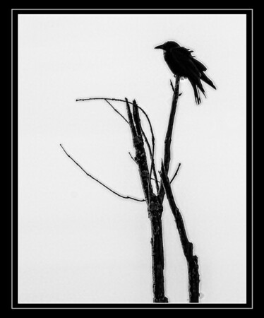 April 18 - Crow on The Look Out<br /> <br /> I saw this crow sitting on the very top of what is left of a dead tree.  I liked the silhouette and decided to capture it.