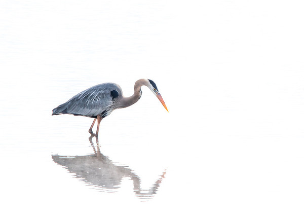 May 15, 2014 - Great Blue Heron<br /> <br /> This heron was walking near the group of Pelicans I posted last week on the Yellowstone River.  <br /> <br /> Thanks so much for all your comments on the Laughing Pelicans image I posted yesterday!  I am so appreciative for all of them.