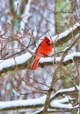Feb 28 - Watching it Snow<br /> <br /> It's always nice to see the bright red color of a male cardinal against a snowy background.  You can see the snow falling in this image.  <br /> <br /> I am having issues with posting or seeing anything new on a daily basis in the daily community.