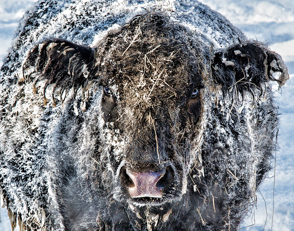 Mar 11 - That's Snow Bull<br /> <br /> Thanks so much for your nice comments on my Winter Wonderland yesterday.  I am traveling and apologize for not being able to comment.