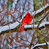 "Jan 14 - Cardinal in the Snow<br /> <br /> Another re-processed  image using Topaz Glow.  My previous posted image is here if you are interested in seeing the difference:  <a href=""http://www.jmannimages.com/Daily-2014/i-tQ7f8xT"">http://www.jmannimages.com/Daily-2014/i-tQ7f8xT</a>."