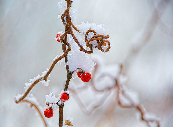 Jan 8 - Bittersweet Vine and Snow<br /> <br /> I love the curly vine and red berries against the white snow.  Thanks for your comments on my Dead Trees In the Lake image yesterday!  Stay warm!!