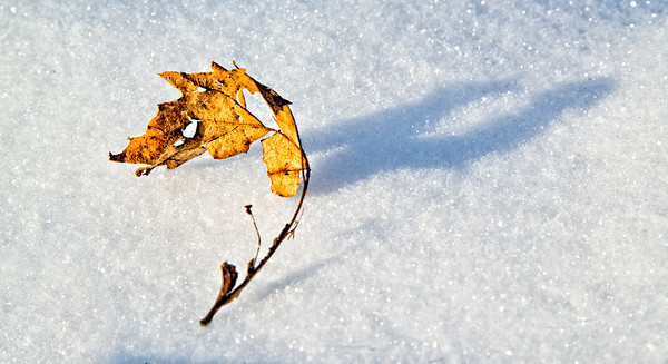 Jan 9 - Decaying on the Snow<br /> <br /> A leaf that I caught floating by the push of the wind on the snow.  The wind stopped for a few minutes and I captured the leaf with it's shadow.  A cold image on a cold day!  <br /> <br /> Thanks for your comments on my bittersweet in snow image yesterday.