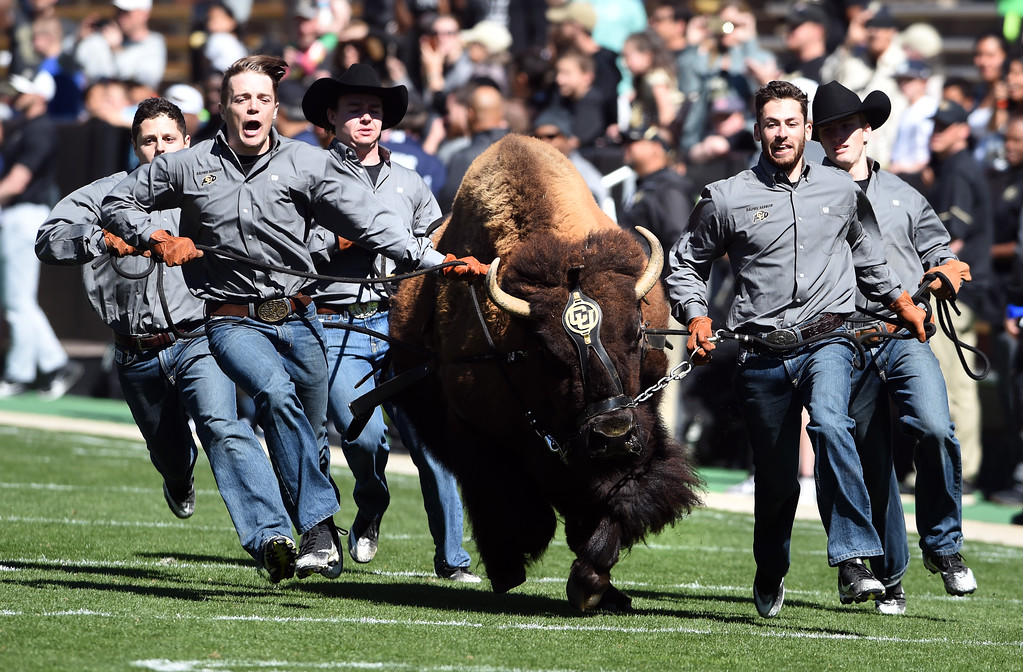 . Ralphie did her thing during the CU Spring football festivities on Saturday.  Cliff Grassmick  Photographer  March 17, 2018