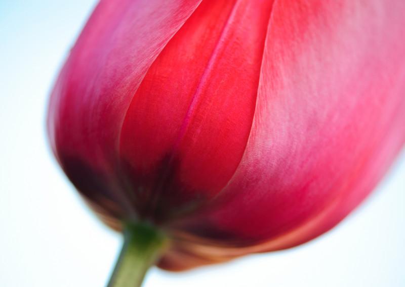 curves and petals, shape of a tulip