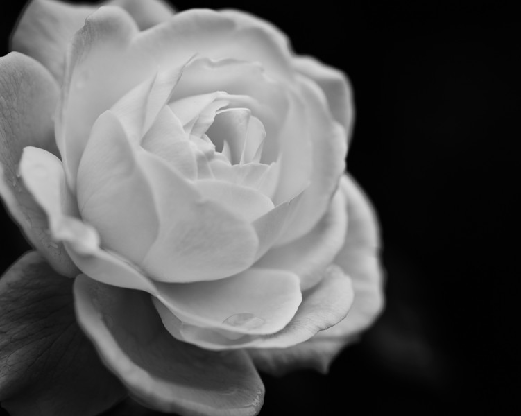solitary rose, cloudy day, late afternoon light