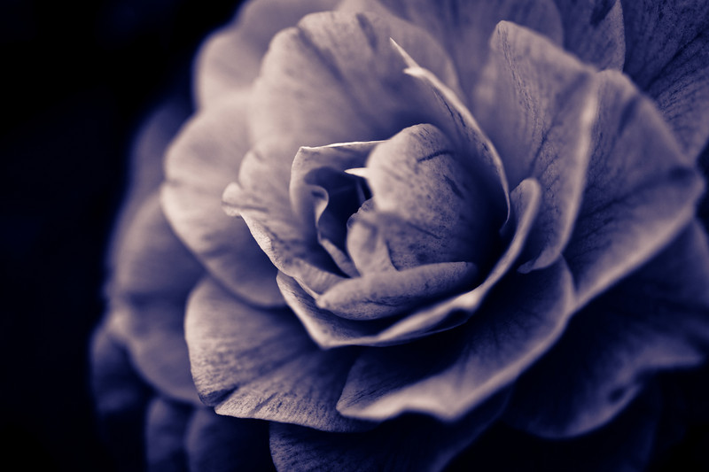 """hybrid camellia in split tone, December 30, 2010, you can see the image in the original color <a href=""""http://bit.ly/i2rLNc"""">here</a>.  My processing software for this image was Lightroom 3."""